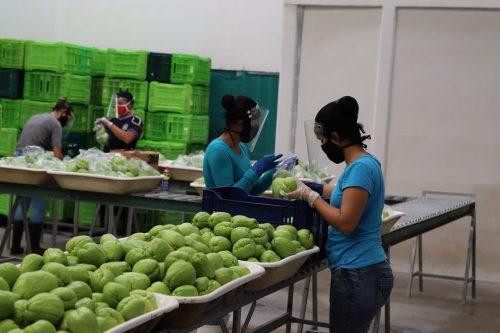 Las 277 tiendas de Walmart en Costa Rica venden los chayotes de Jesús Chaves.