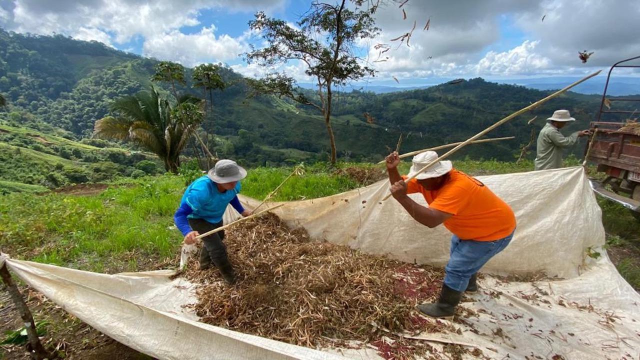El cultivo del frijol en estas zonas, además del beneficio económico, es amigable con el ambiente ya que es de rápido crecimiento.