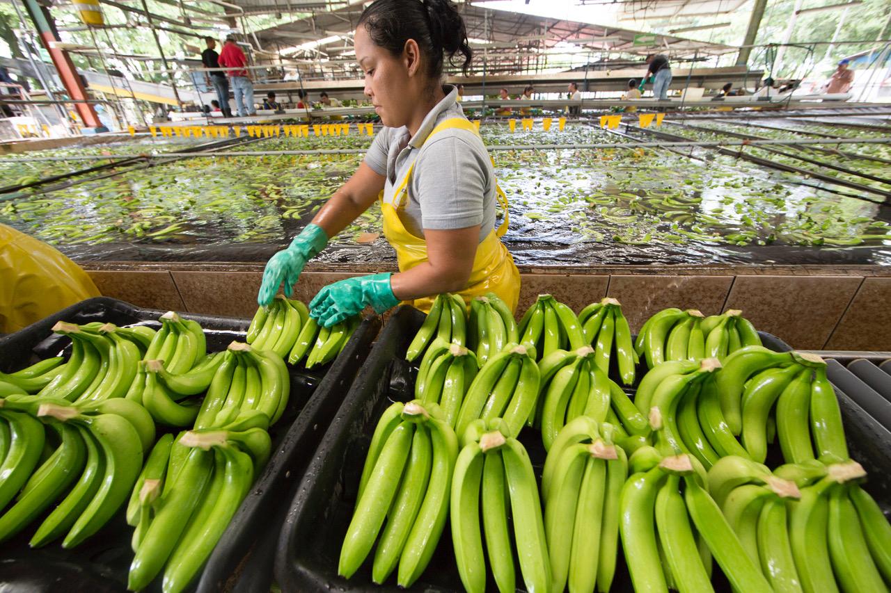 A pesar de la crisis por la pandemia, la industria bananera nacional logró mantener a los más de 40.000 trabajadores y sus familias y más de 100.000 trabajadores indirectos.