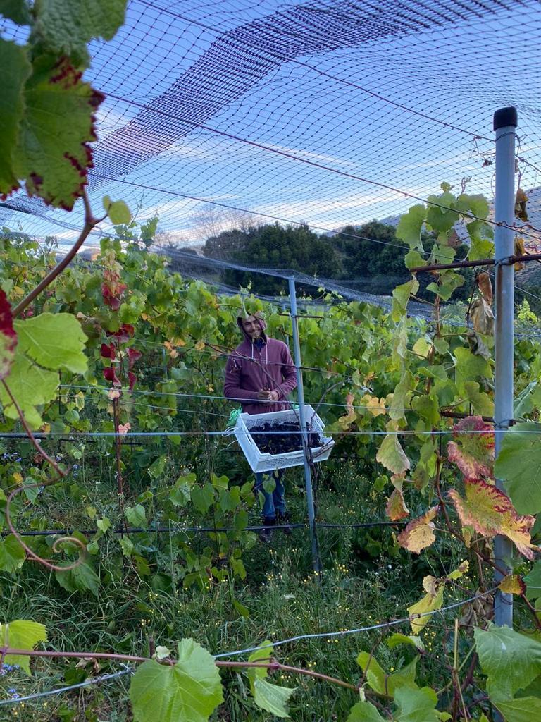 Recientemente se presentó de manera oficial, el primer vino Malbec de origen tico, una iniciativa de la importadora de vinos Olé Gourmet y la franquicia de restaurantes Novillo Alegre.