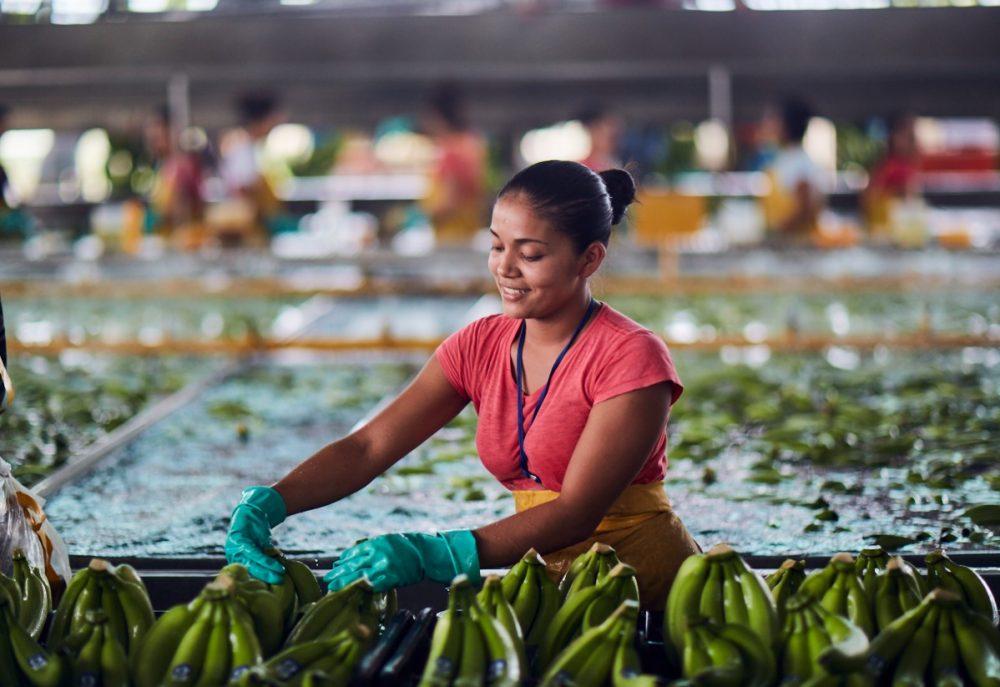 Con exportaciones superiores a los 130 millones de cajas de banano, Costa Rica logró mantener en sus puestos de trabajo a los 140 mil empleos que dependen (directa o indirectamente) del sector.